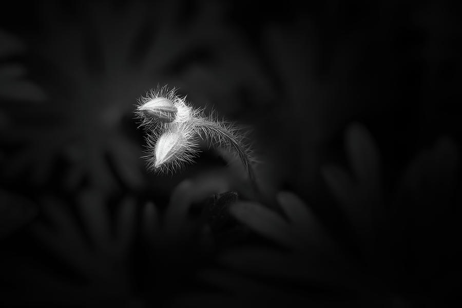 Geranium Sanguineum Buds Photograph
