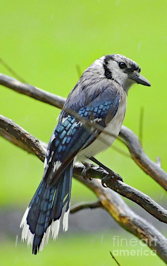 Glamorous Blue Jay Photograph