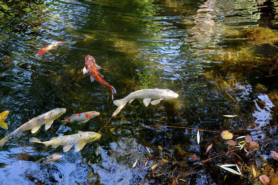 Gold Fish Flow Photograph