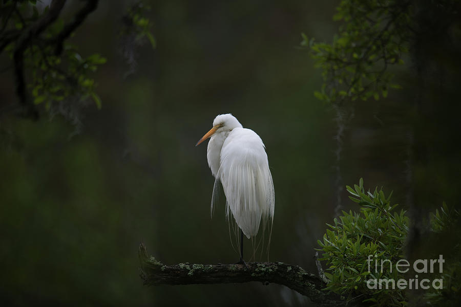 Great White Heron - Lowcountry Marsh Photograph