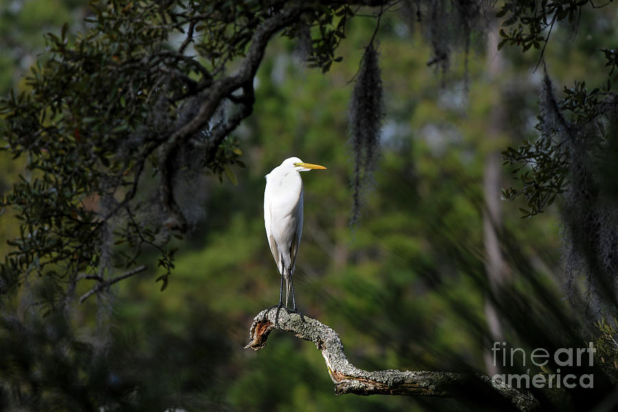 Great White Heron Over Marsh In Mount Pleasant Sc Photograph