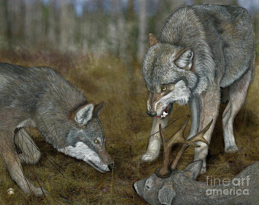 Grey Wolf Canis Lupus - Wolf - Ulv - Varg - Fine Art Print - Stock Illustration - Stock Image Painting