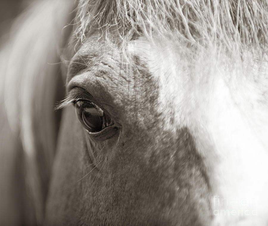 Horse Eye - Sepia Photograph