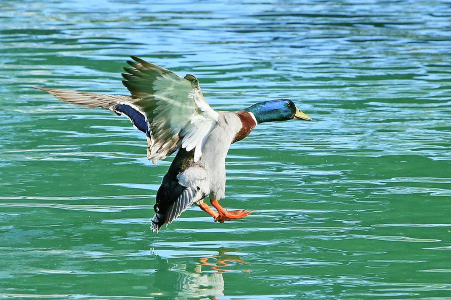 Landing On Water Photograph