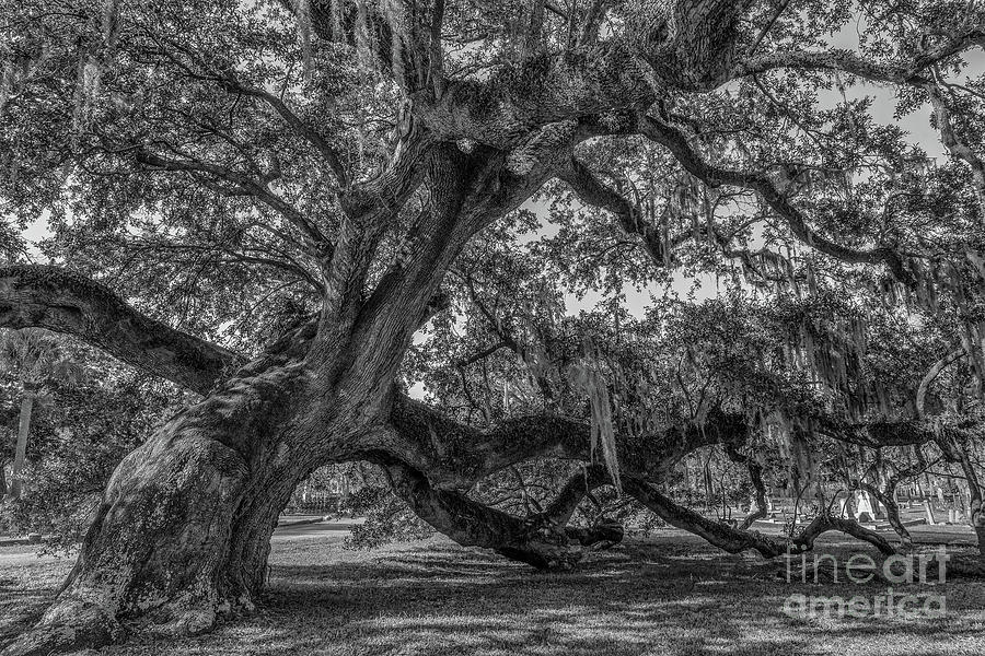 Live Oak Tree - Magnolia Cemetery Photograph