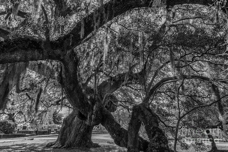 Live Oak Tree Twisted Growth Photograph