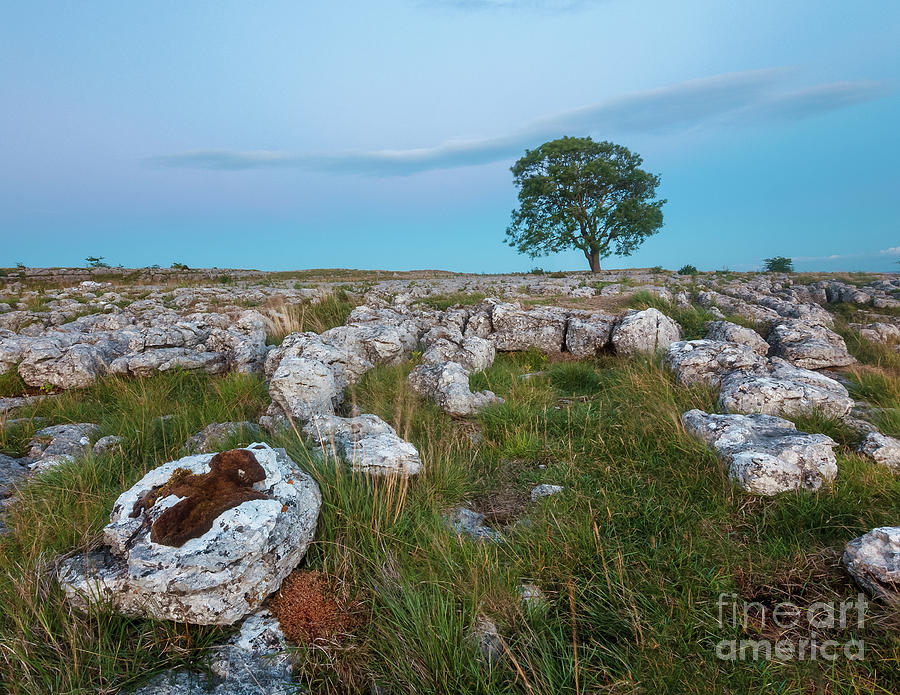 Lonely Tree In Malham Photograph