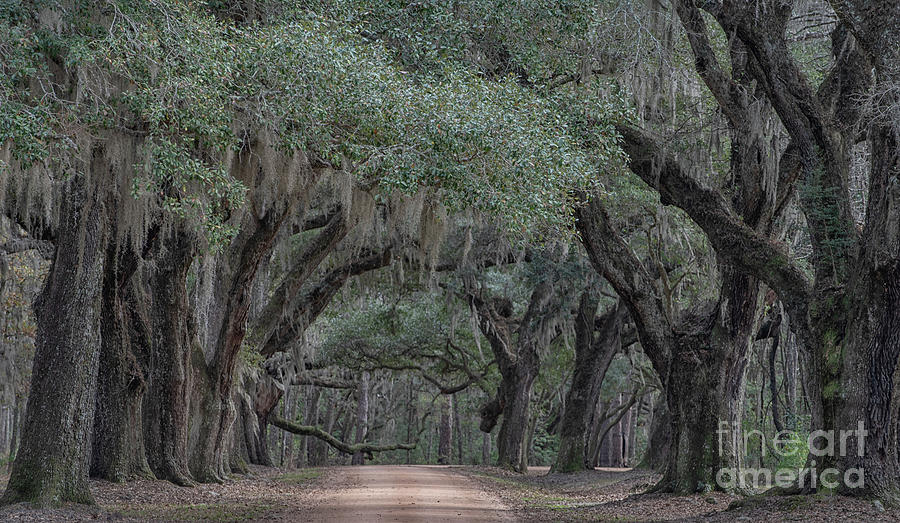 Lowcountry Avenue Of Oaks Photograph