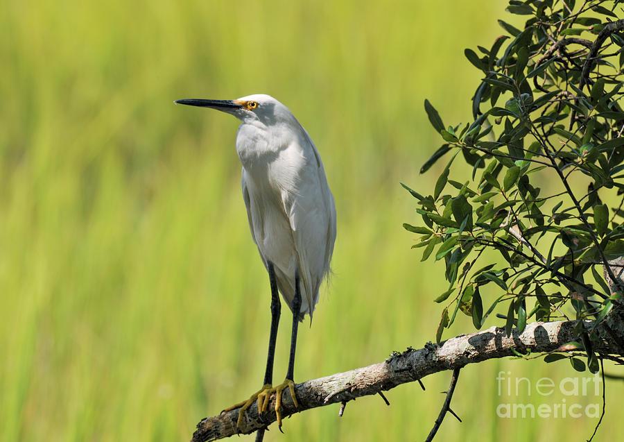 Lowcountry Marsh Heron Photograph