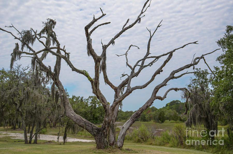 Lowcountry Treasure - Gnarly Tree Photograph