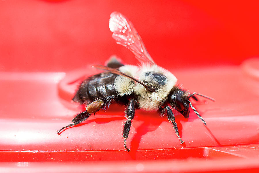 Macro Bee Photograph