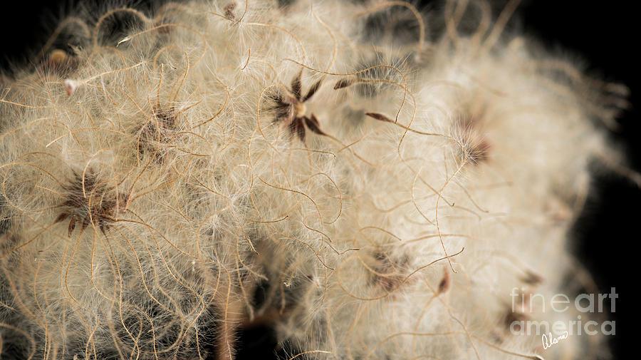 Macro Clematis Seeds Photograph