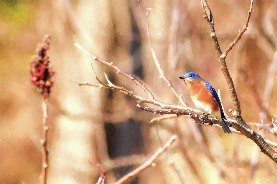 Male Eastern Bluebird Painting Photograph