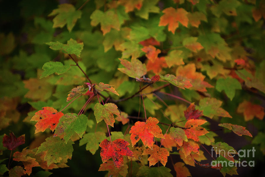 Maple Tree - Fall Color Photograph
