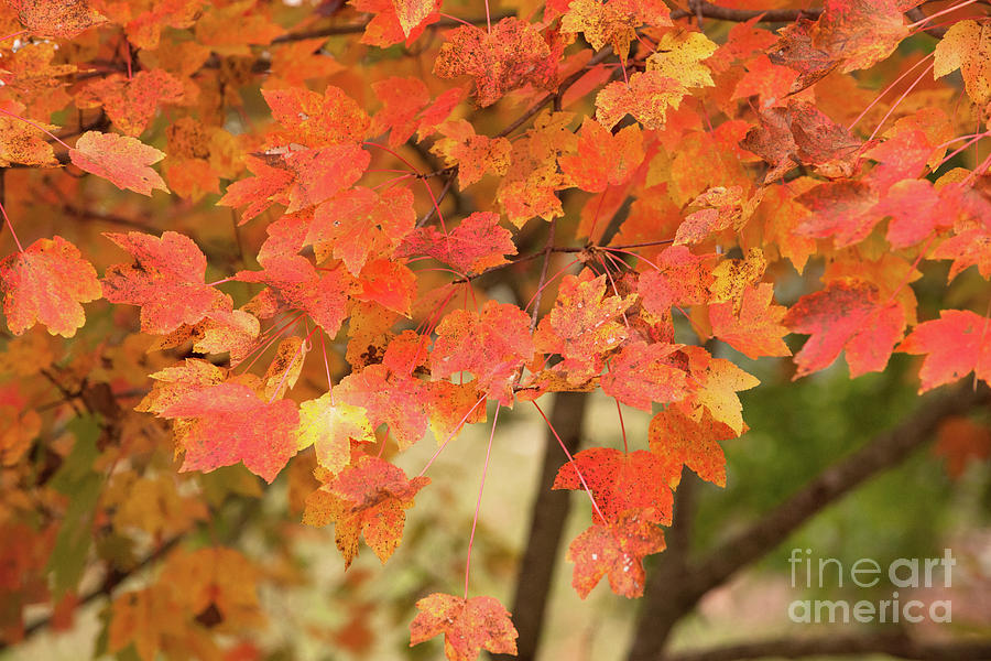 Maple Tree - Fall Foliage Photograph