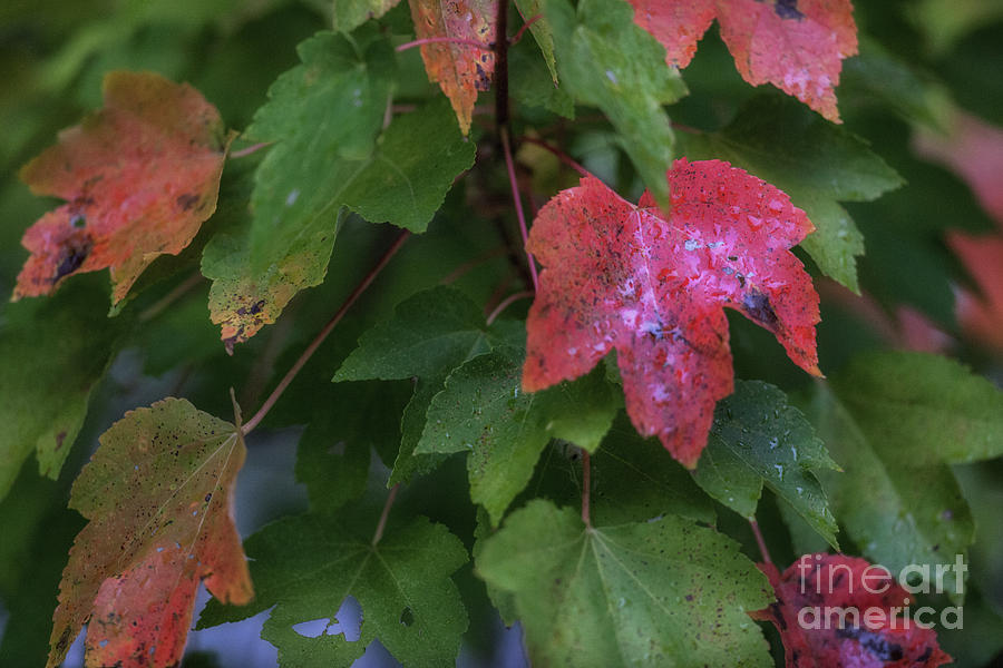 Maple Tree - Fall Leaves Photograph
