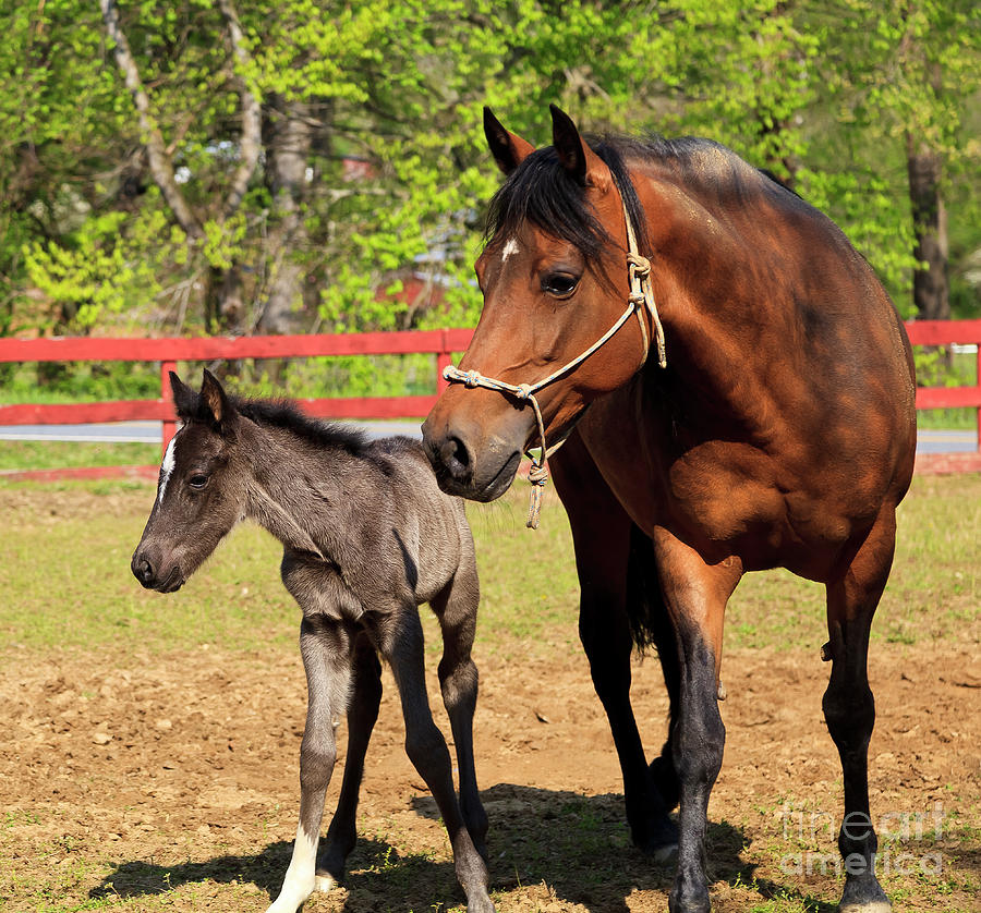 Mare Horse And Colt Photograph