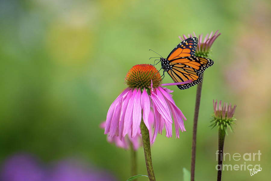Monarch Butterfly And Coneflower. Photograph