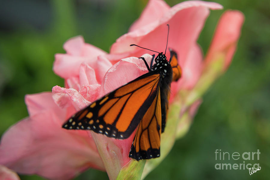 Monarch Butterfly Opening Photograph