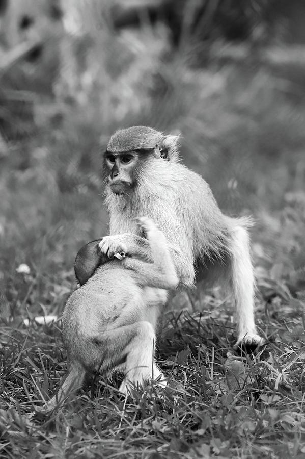 Monkey Business Bw Photograph