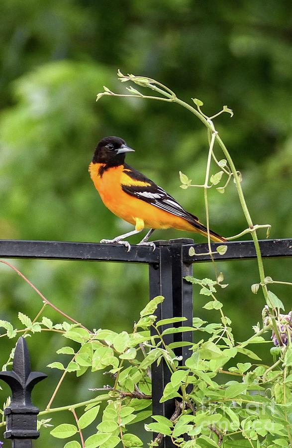 Orange Delight - Baltimore Oriole Photograph