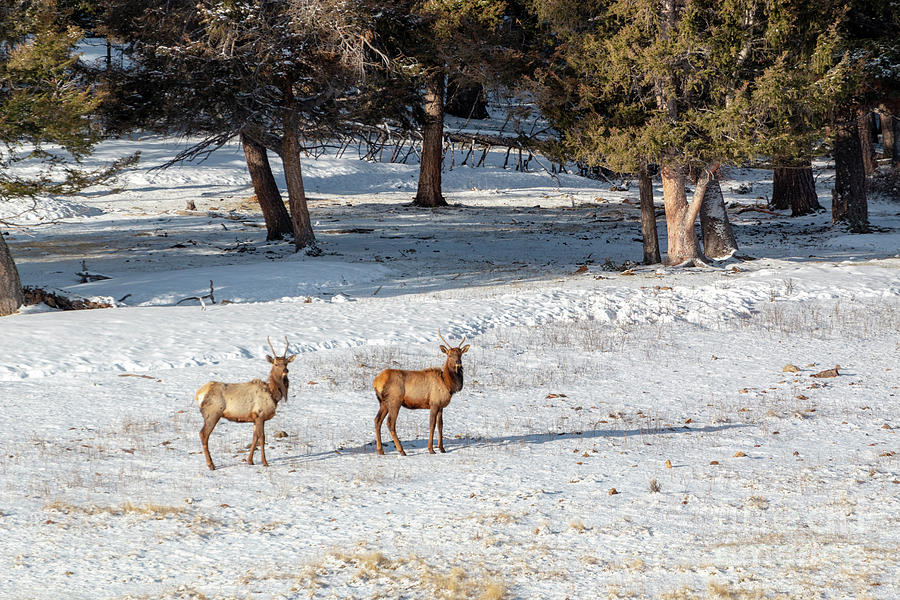 Pair Of Winter Morning Elk Herd Photograph