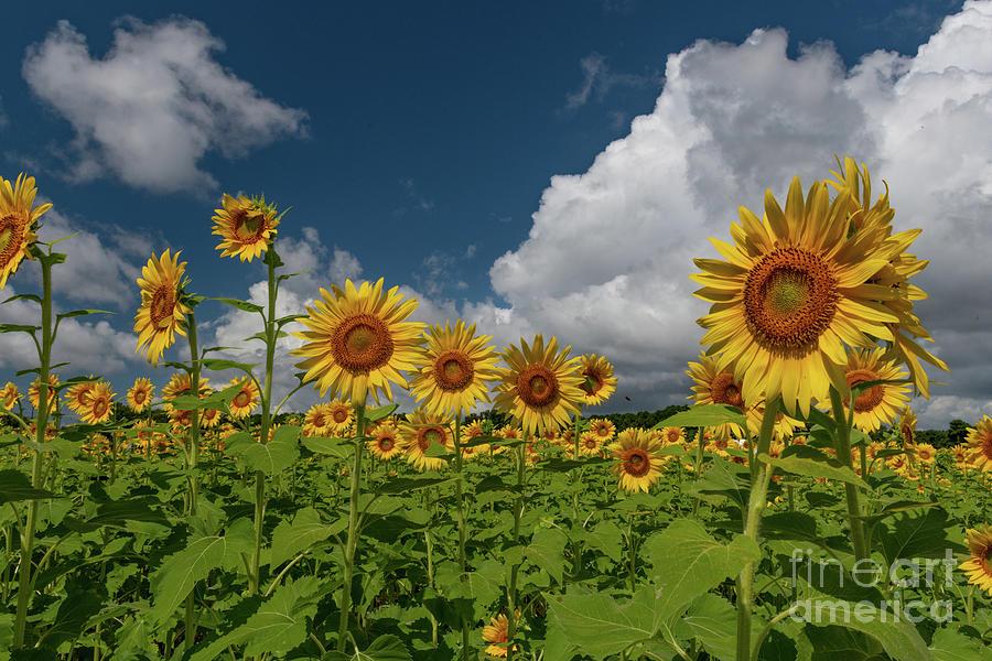 Peak Growing Season - Sunflowers Photograph
