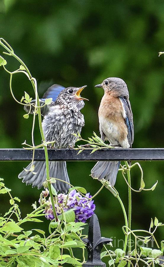 Please Mama Feed Me One More Time - Eastern Bluebirds Photograph