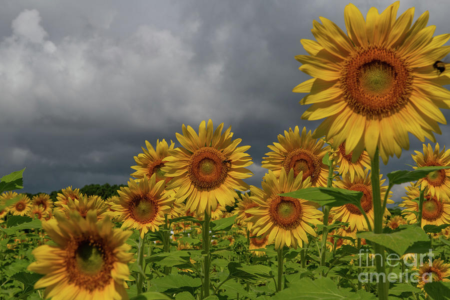 Reaching For The Sun - Sunflowers Photograph