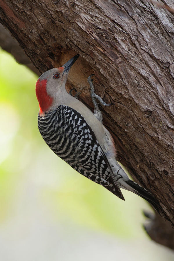 Red-bellied Woodpecker #2 Photograph