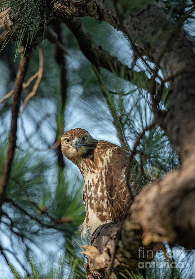 Red Tailed Hawk Glazing Stare Photograph