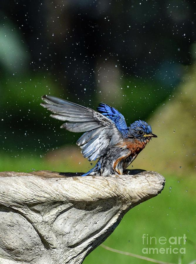 Refreshed Eastern Bluebird Photograph