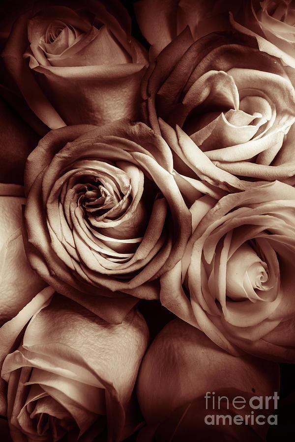 Rose Carmine Photograph