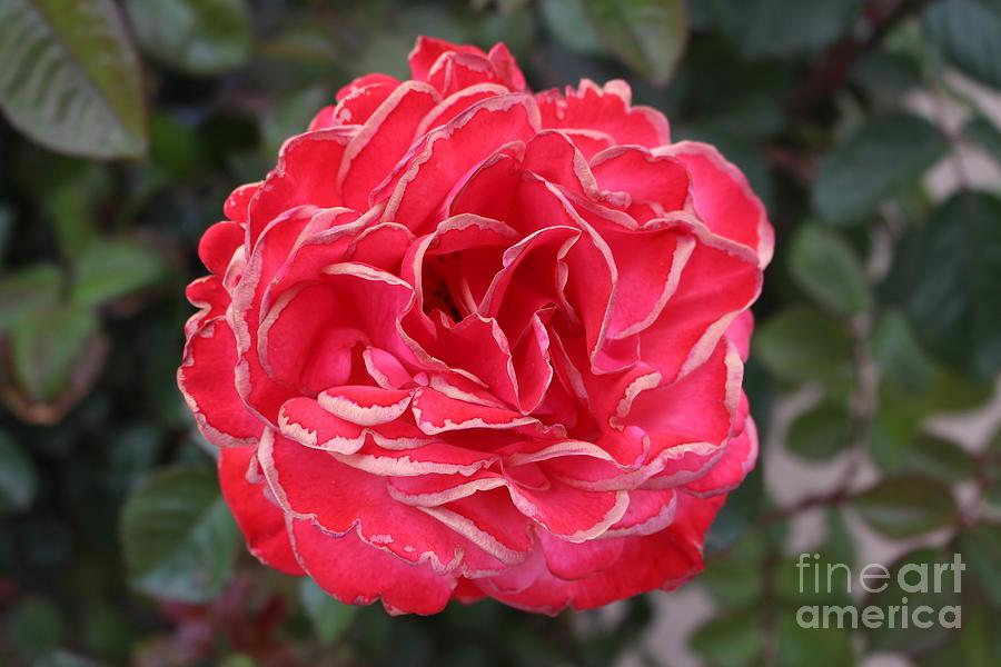 Rose Tips Photograph
