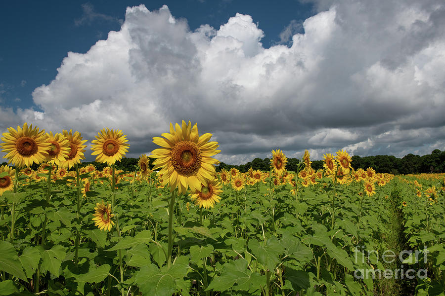 Rows Of Sunshine - Sunflower Field Photograph