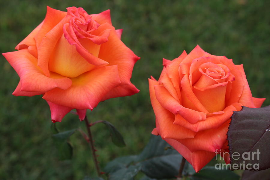 Salmon Roses Photograph