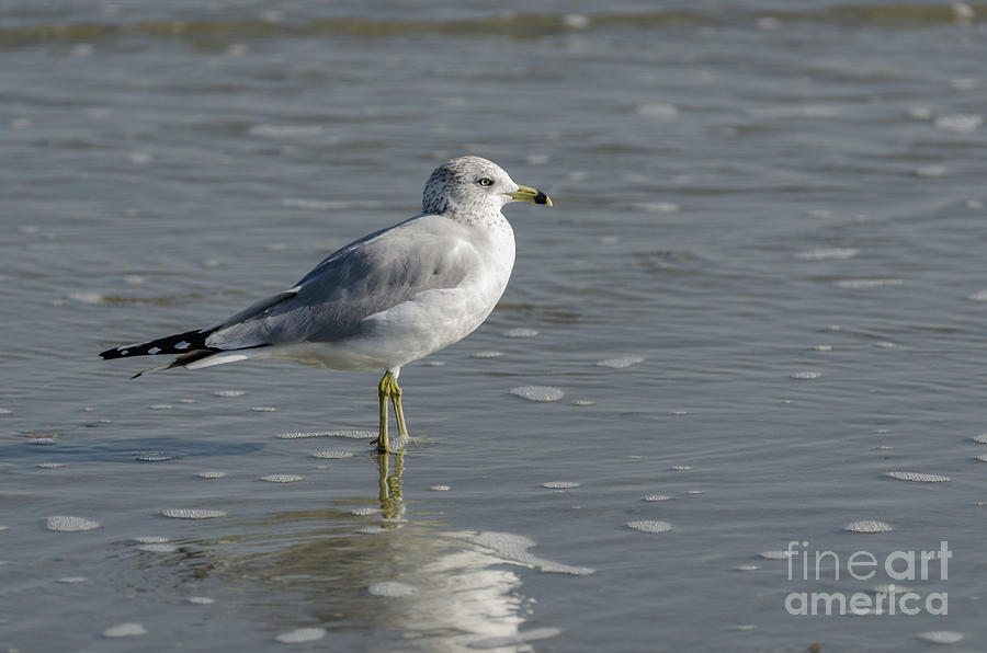 Sea Gull - Atlantic Ocean Photograph