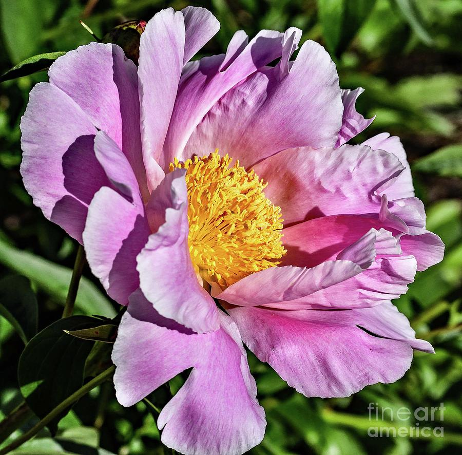 Shades Of Pink Bowl Of Beauty Peony Photograph