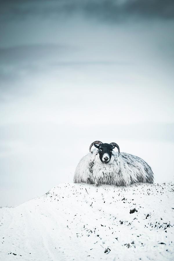 Snow Sheep Photograph