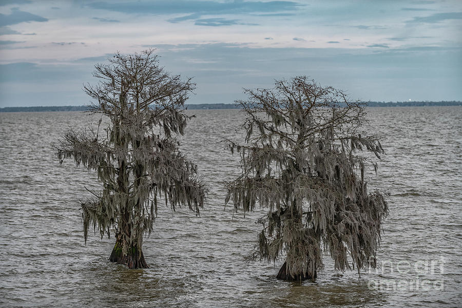 Southern Bald Cypress Trees - Lake Moultrie Photograph