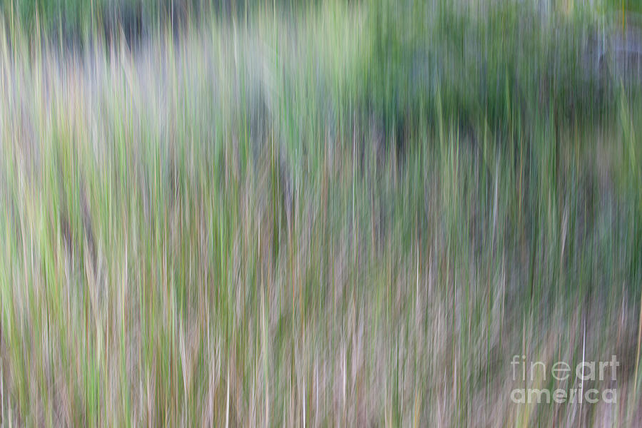 Spartina Reeds - Marsh Grass Photograph