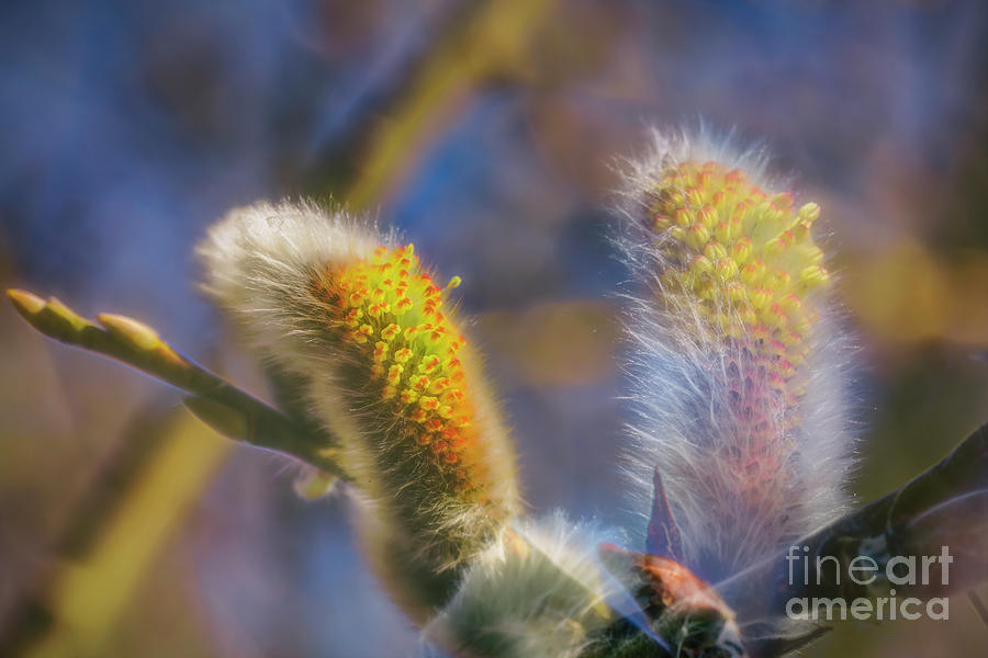 Spring Willow 6 Photograph
