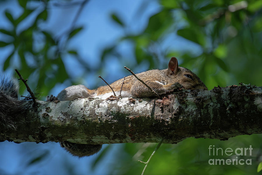 Squirrel Napping Photograph