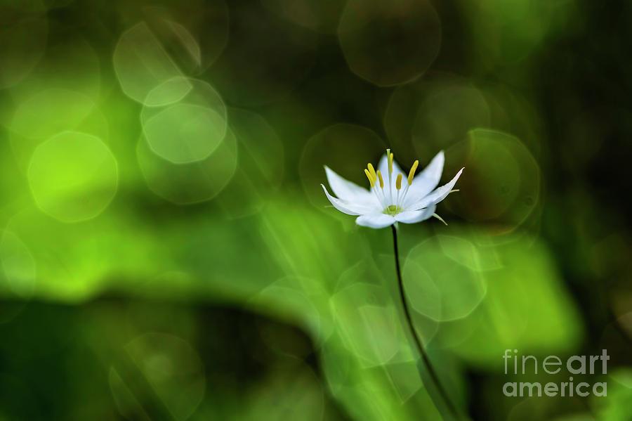 Starflower 2 Photograph
