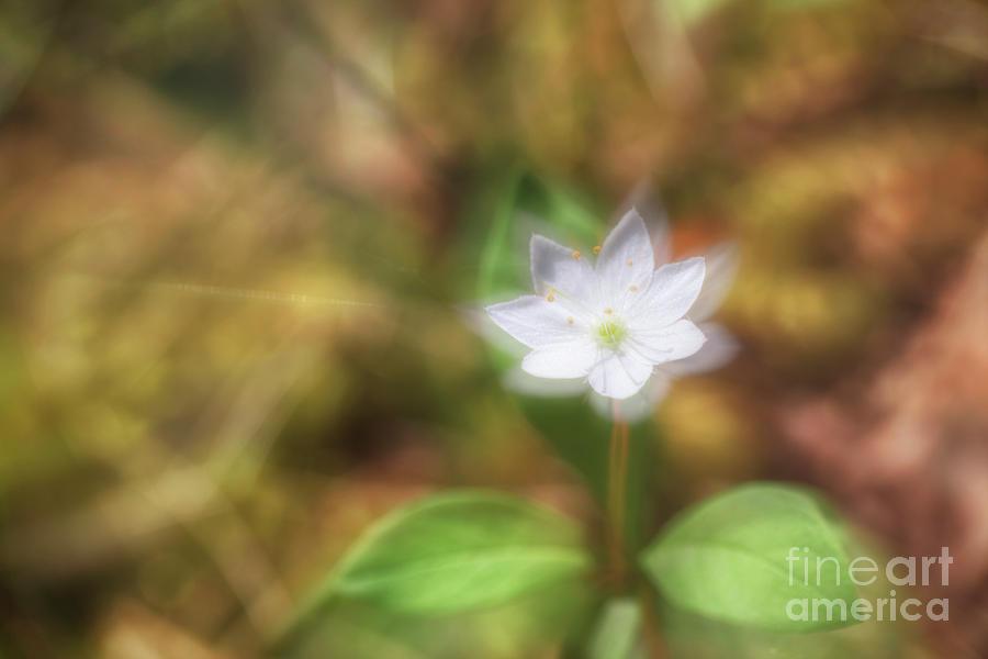 Starflower Photograph