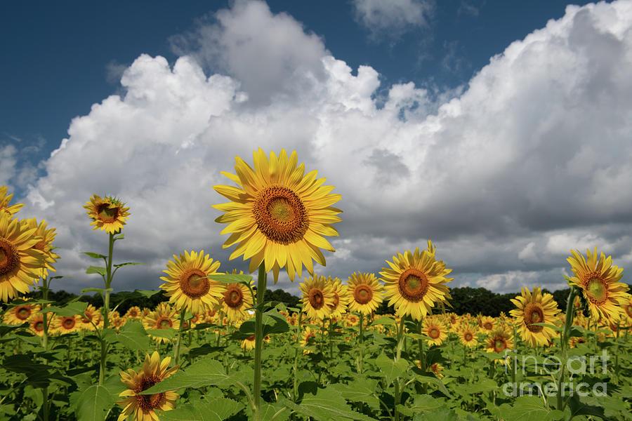 Sunflower Sk - Boone Hall Plantation Photograph