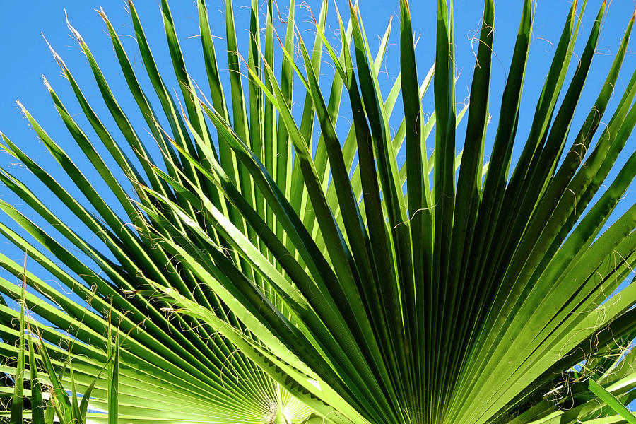 Sunny Palm Leaves Photograph