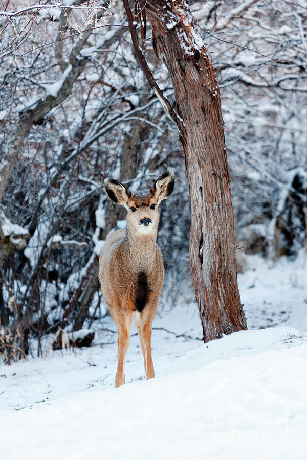 Sweet Curious Doe In The Snow Photograph