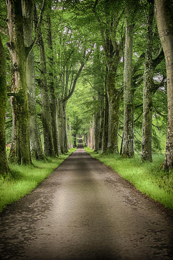 The Avenue Of Trees Photograph