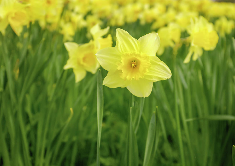 The Daffodils Photograph